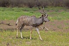 更加伟大的Kudu,塞卢斯禁猎区,坦桑尼亚 免版税图库摄影