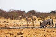 更加伟大的kudu,非洲羚羊类弯角羚类,在waterhole Etosha,纳米比亚 免版税库存图片