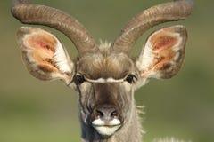 更加伟大的Kudu, Addo大象国家公园 库存照片