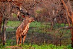 更加伟大的kudu (非洲羚羊类弯角羚类)在克留格尔国家公园 免版税库存图片