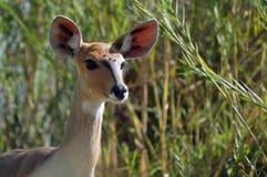 更加伟大的Kudu [非洲羚羊类弯角羚类] 免版税库存照片