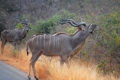 更加伟大的kudus (非洲羚羊类弯角羚类) 库存照片