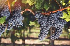加伯奈葡萄酒在葡萄栽培的法郎葡萄在葡萄园里 免版税库存照片
