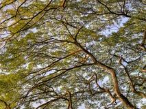 加冠热带大的结构树 库存照片
