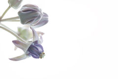 加冠花,巨型印地安乳草,硕大燕子麦芽酒 库存照片