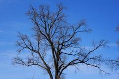 加冠结构树 免版税库存图片