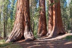 加利福尼亚内华达山山的美国加州红杉国家森林 免版税图库摄影