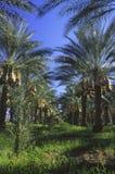 加利福尼亚南部枣椰子的种植园 免版税图库摄影