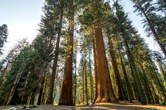 加利福尼亚国家公园美国加州红杉美&# 库存图片