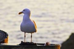 加利福尼亚国王Gull 免版税图库摄影