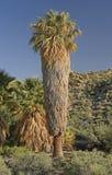 加利福尼亚在沙漠绿洲的扇形棕榈 图库摄影