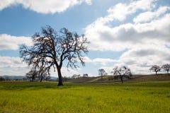 加利福尼亚在积云下的橡树在Paso罗夫莱斯加利福尼亚美国 免版税库存照片