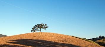 加利福尼亚在被犁的领域的谷木树在蓝天下在Paso罗夫莱斯酒乡在中央加利福尼亚美国 免版税库存图片