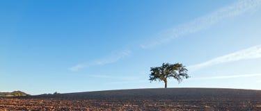 加利福尼亚在被犁的领域的谷木树在蓝天下在Paso罗夫莱斯酒乡在中央加利福尼亚美国 图库摄影