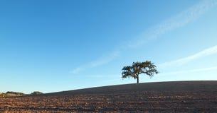 加利福尼亚在被犁的领域的谷木树在蓝天下在Paso罗夫莱斯酒乡在中央加利福尼亚美国 库存图片