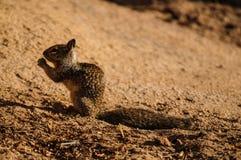 加利福尼亚地松鼠(Otospermophilus beecheyi)咬的野花 库存照片