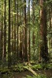 加利福尼亚大muir红木结构树森林 免版税图库摄影