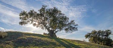 加利福尼亚太阳光芒由后照的橡树在圣丽塔小山的葡萄园里在加利福尼亚美国 免版税库存图片