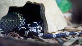 加利福尼亚州的巨蛇 库存图片