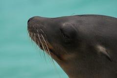 加利福尼亚州的海狮 库存图片