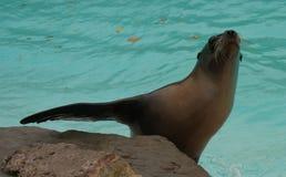 加利福尼亚州的海狮 库存照片