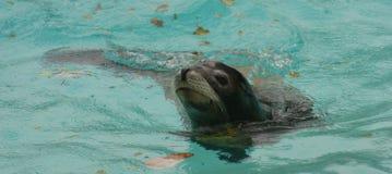 加利福尼亚州的海狮 图库摄影