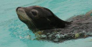 加利福尼亚州的海狮 免版税库存图片