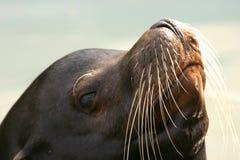 加利福尼亚州的海狮 免版税库存照片