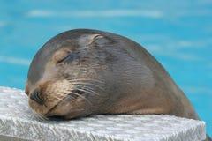 加利福尼亚州的狮子海运 免版税图库摄影