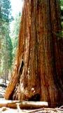 加利福尼亚巨型美国加州红杉结构树 库存照片