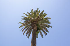 加利福尼亚扇形棕榈 图库摄影