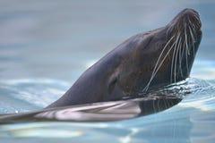 加利福尼亚接近的顶头狮子海运游泳 库存图片