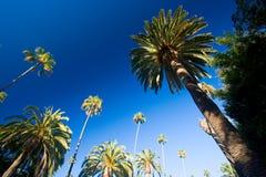 加利福尼亚棕榈树 图库摄影