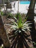 加利福尼亚棕榈 库存照片