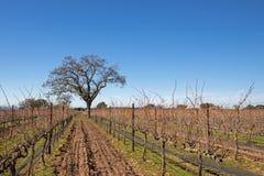 加利福尼亚橡树在冬天在圣芭卜拉加利福尼亚美国附近的加利福尼亚中部葡萄园里 免版税库存照片