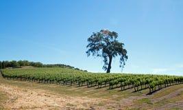加利福尼亚橡树在葡萄园里在蓝天下在Paso罗夫莱斯酒乡在中央加利福尼亚美国 免版税库存照片