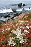 加利福尼亚海岸野花 库存照片