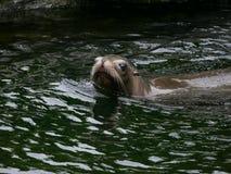 加利福尼亚海狮在看照相机的水中 免版税图库摄影