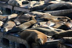 加利福尼亚海狮在码头39 ` s,旧金山船坞拖拉  免版税库存图片