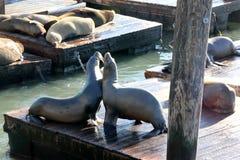 加利福尼亚海狮在码头39 ` s,旧金山船坞拖拉  库存图片