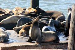 加利福尼亚海狮在码头39 ` s,旧金山船坞拖拉  库存照片