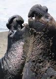 加利福尼亚海狮对峙 免版税库存照片