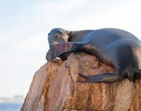 """加利福尼亚海狮晒黑和lazing在""""the Pointâ€土地Los卡约埃尔考斯End† 或""""Pinnacle在Cabo圣卢卡斯在墨西哥 免版税库存照片"""