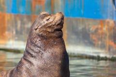加利福尼亚海狮的特写镜头 免版税库存图片