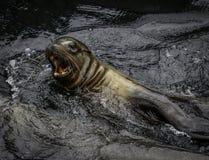 加利福尼亚海狮 免版税库存照片