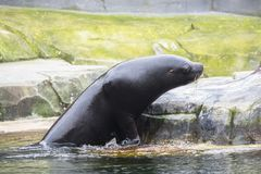 加利福尼亚海狮 库存图片