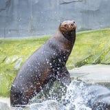 加利福尼亚海狮 免版税库存图片