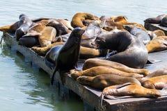 加利福尼亚海狮 图库摄影