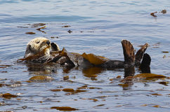 加利福尼亚海獭 免版税库存照片