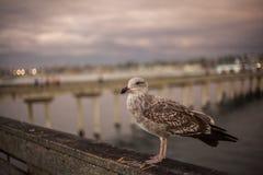 加利福尼亚海鸥在海滩的圣地亚哥 免版税图库摄影
